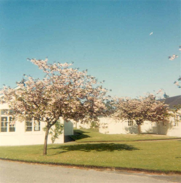 Flowering cherries at Invergordon Hospital